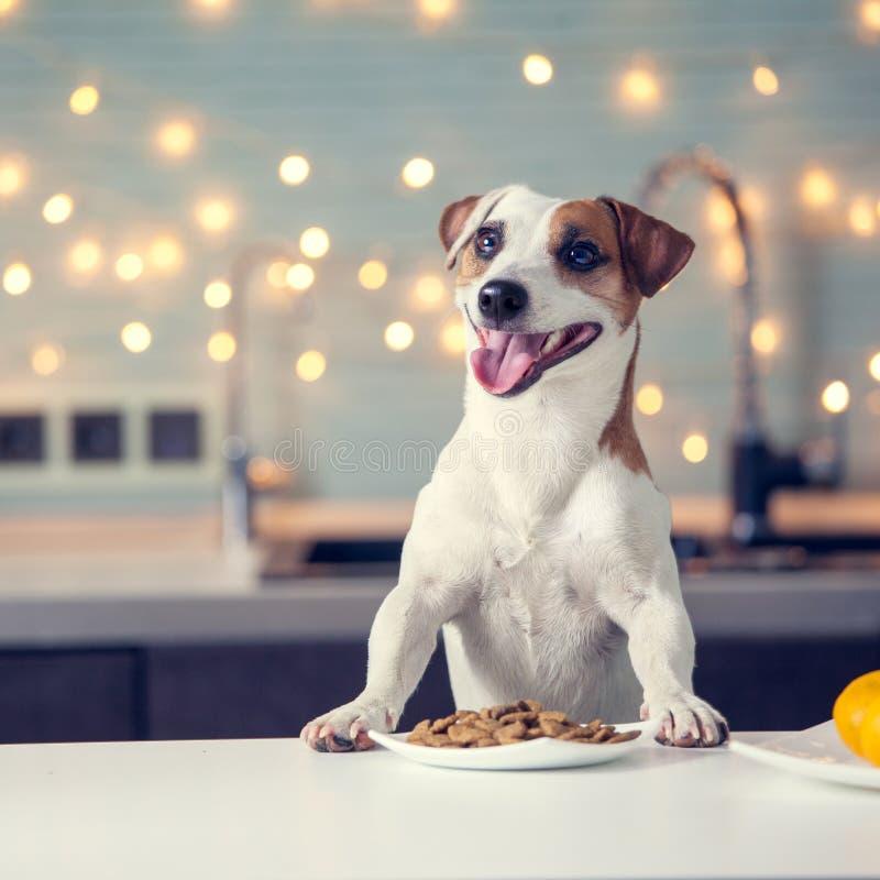 Dog eating food at home royalty free stock image