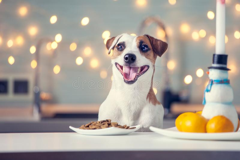 Dog eating food at home. Happy pet santa royalty free stock image