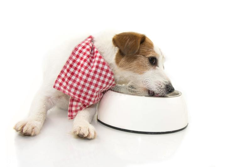 DOG EATING AND LICKING ITS BOWL. LYING DOWN JACK RUSSELL RELYSHING ITS FOOD. ISOLATED AGAINST WHITE BACKGROUND.  royalty free stock photography
