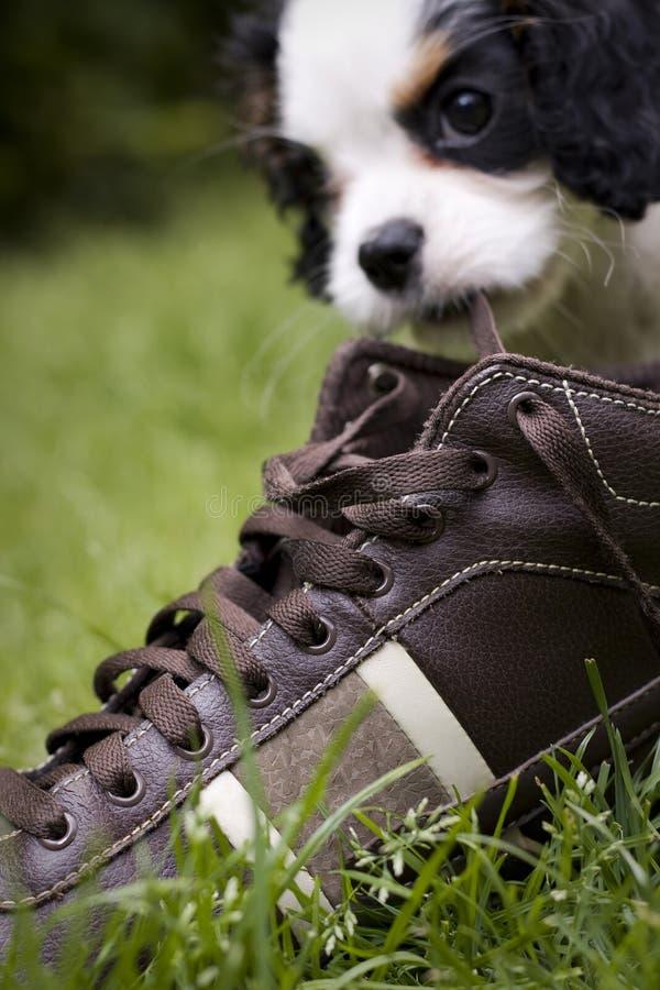Dog eating shoe stock photo