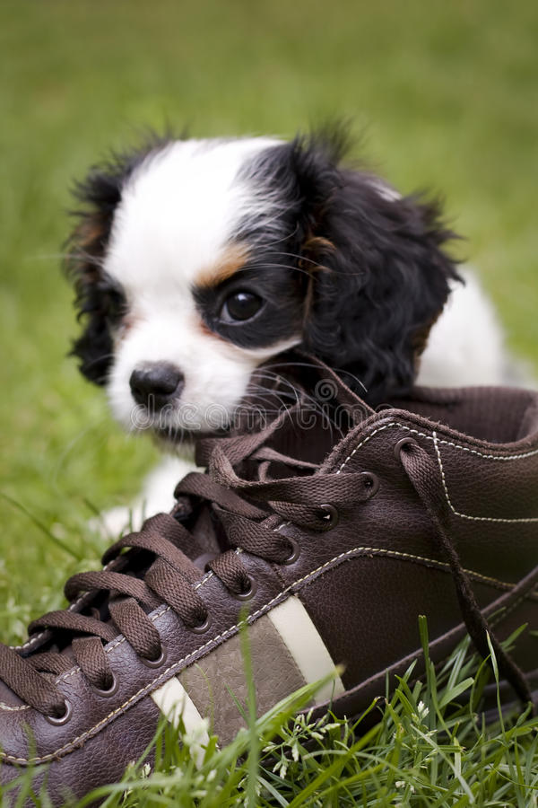 Dog eating shoe royalty free stock photography