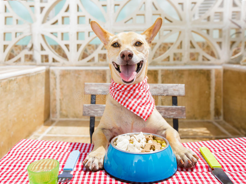 Dog eating a the table with food bowl. Hungry chihuahua dog eating with tablecloth utensils at the table , food bowl , fork and knife royalty free stock photo