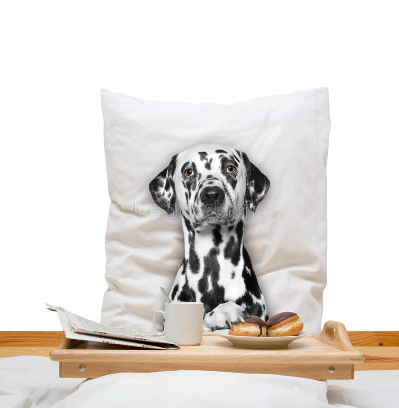 Dog eats in bed and drink royalty free stock photos