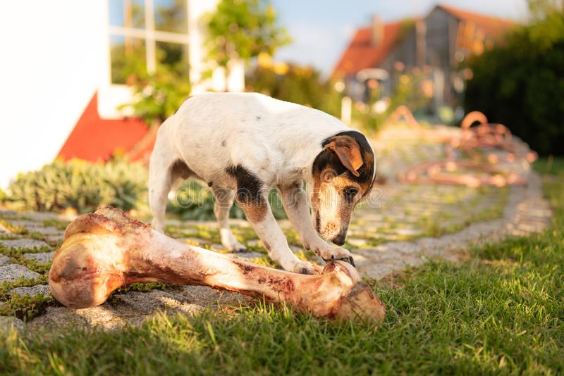 Dog eats a big bone. royalty free stock photos