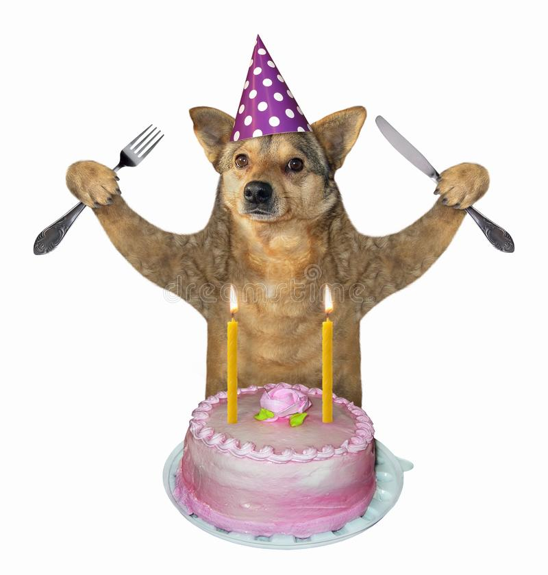 Dog eats the birthday cake 2. The dog with a knife and a fork eats the birthday cake with candles. White background. Isolated royalty free stock photo