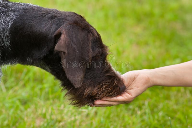 The dog eats the treat from the hand stock photo