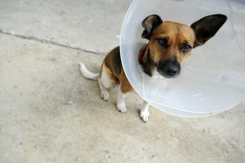 Dog With Elizabethian Collar Stock Photo