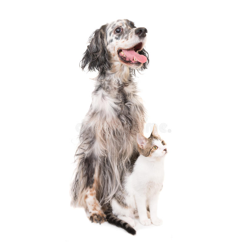 Dog english setter and domestic cat. Together isolated on white background royalty free stock images