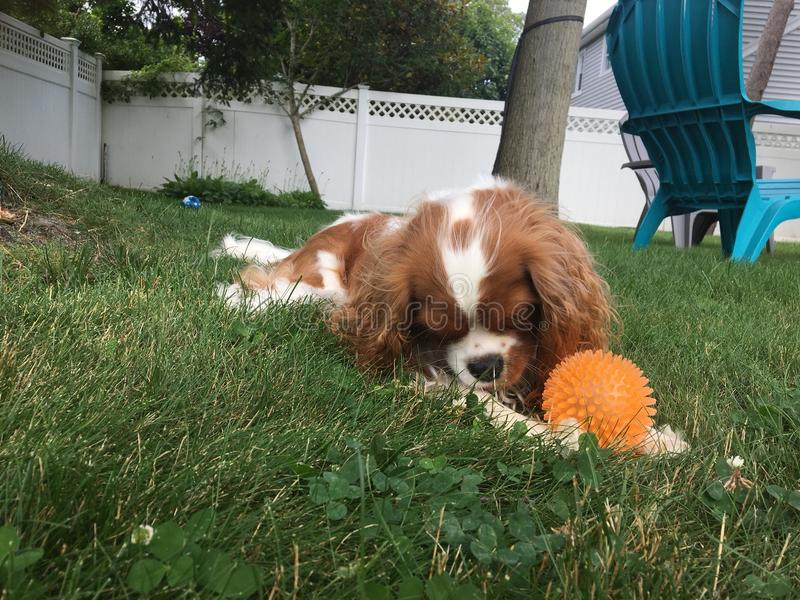Dog in grass with ball stock image