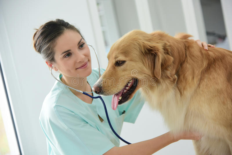 Dog et veterinarian's getting a check-up stock photography