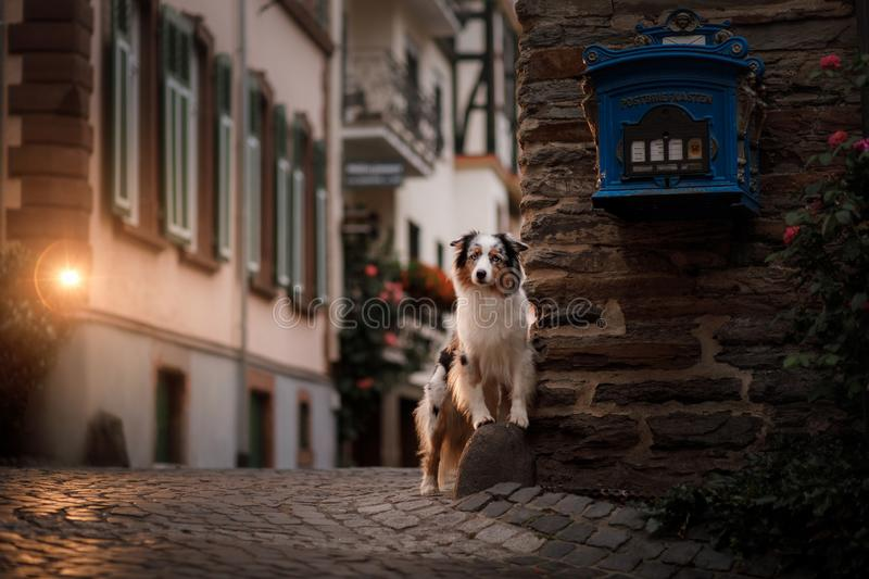 Dog in the evening in the light of lanterns. Australian shepherd in town. Pet in the city center royalty free stock photos
