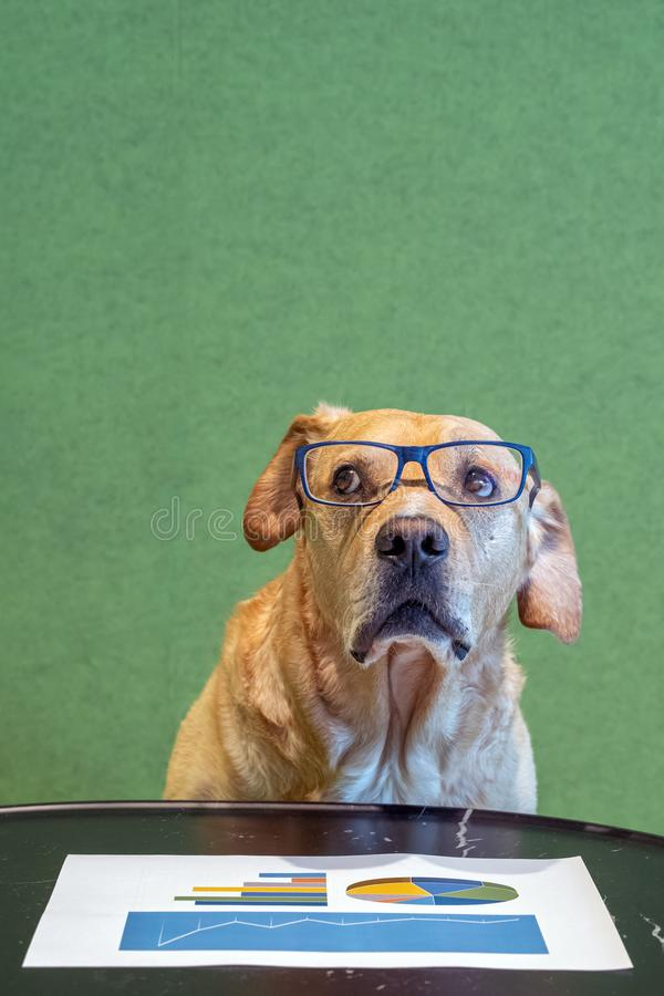 Dog with exeglasses and feared expression above paper with graphs. Office concept. Financial department. Bussiness humor stock image