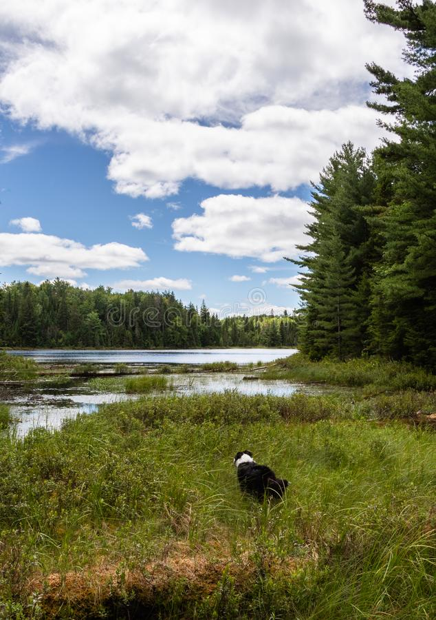 Dog exploring a lake on a beautiful day in Algonquin Park royalty free stock image