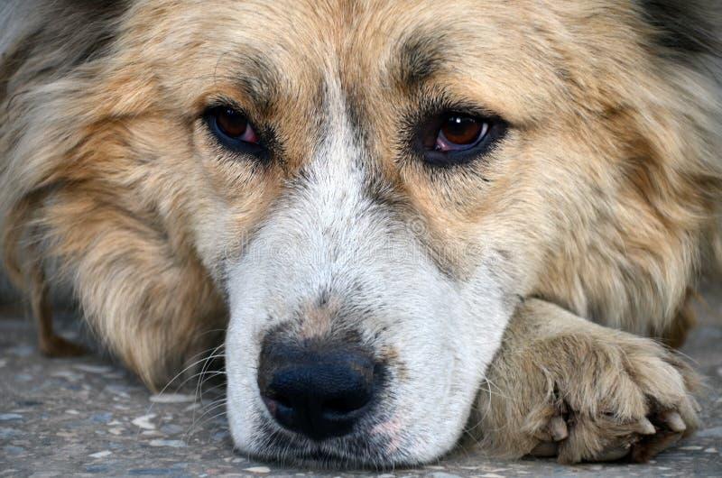 Dog eyes. Dog laying on the ground stock photos