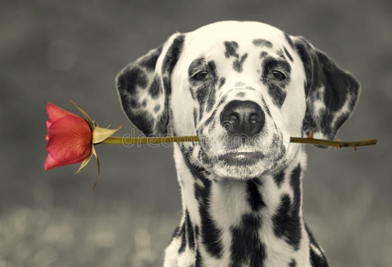 Dog förälskat med den röda rosen i munnen -- svartvit bild royaltyfria bilder