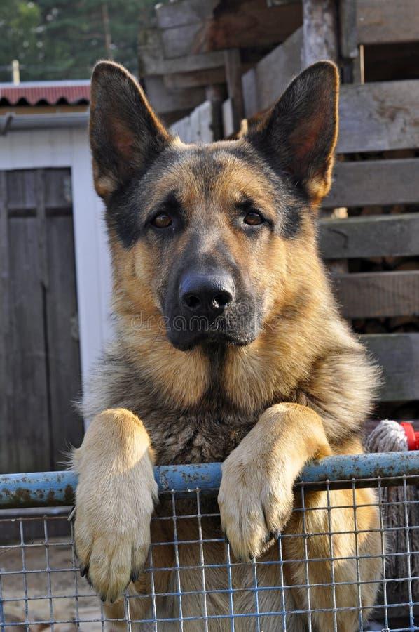 Dog för tysk herde anseende vid staketet royaltyfria foton