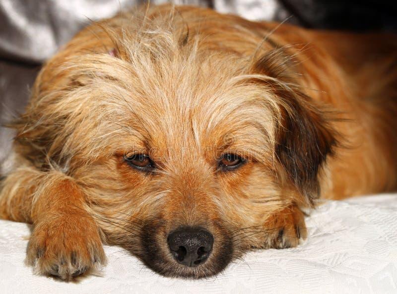 Download Dog Face stock image. Image of floppy, close, eyes, brown - 23141499