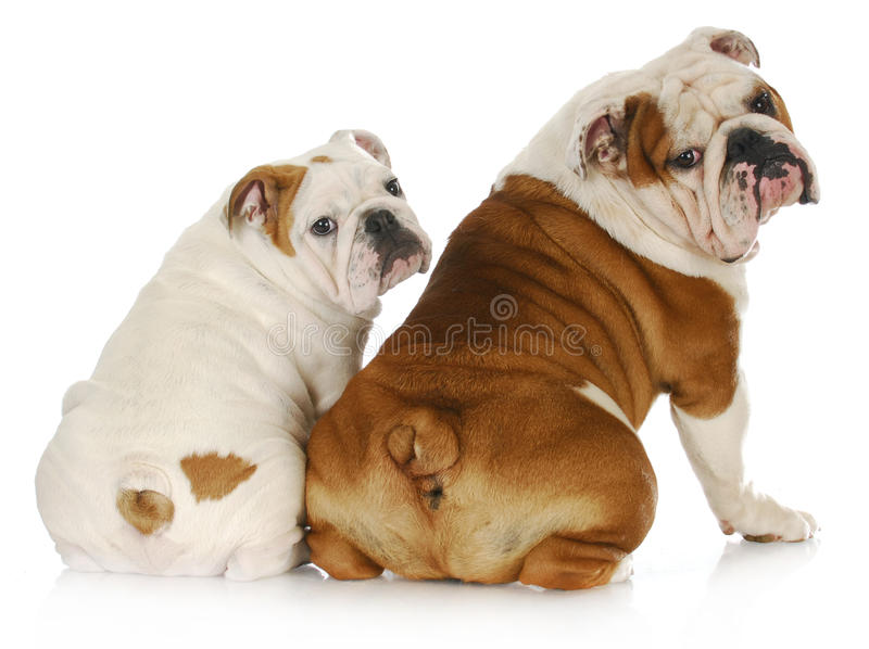 Download Dog family stock photo. Image of english, closeup, mouth - 19554620