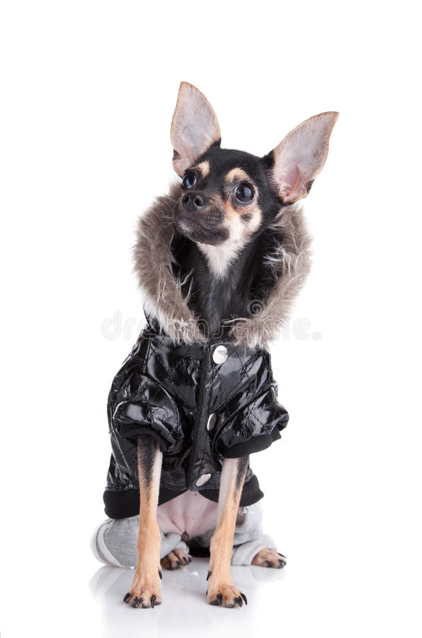 Dog of fashion royalty free stock images
