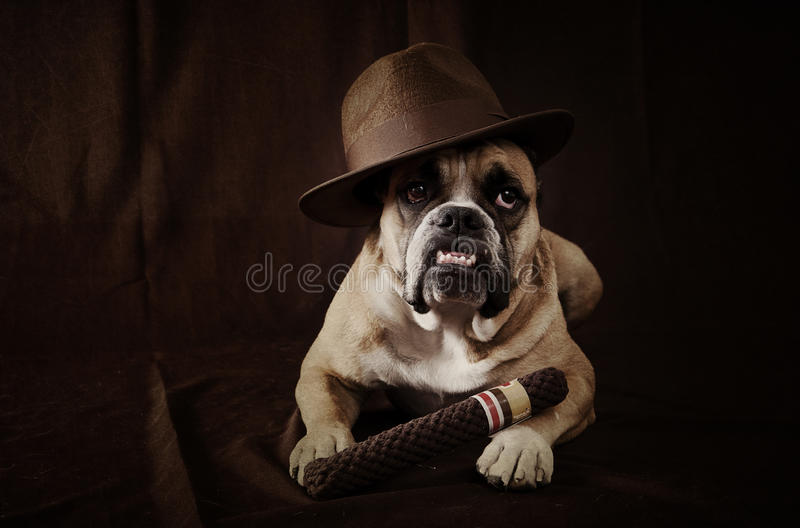Download The dog father stock photo. Image of funny, bulldog, posed - 26254622
