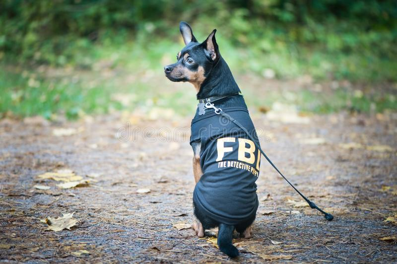 Dog is an FBI agent. Funny puppy toy terrier in costume fbi. royalty free stock images