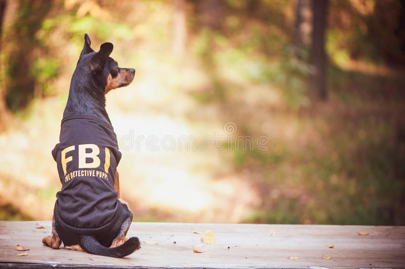 Dog is an FBI agent. Funny puppy toy terrier in costume fbi. The. Dog is a detective stock photography