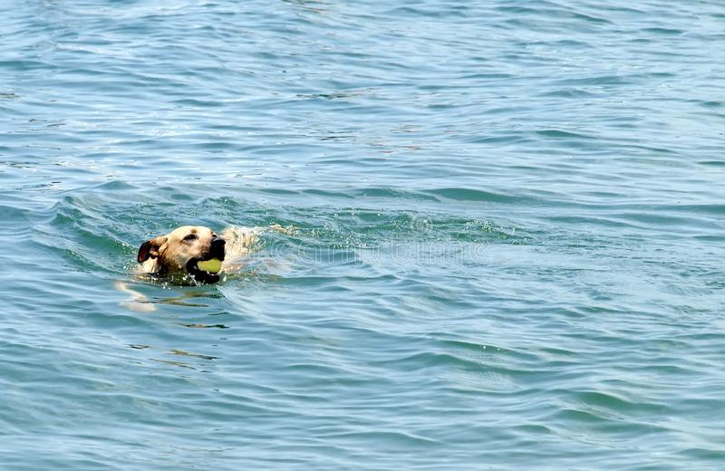 Dog fetching ball in water