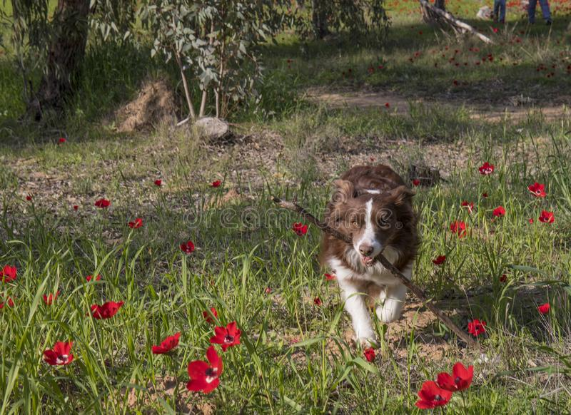 A Dog Fetching A Stick royalty free stock photography