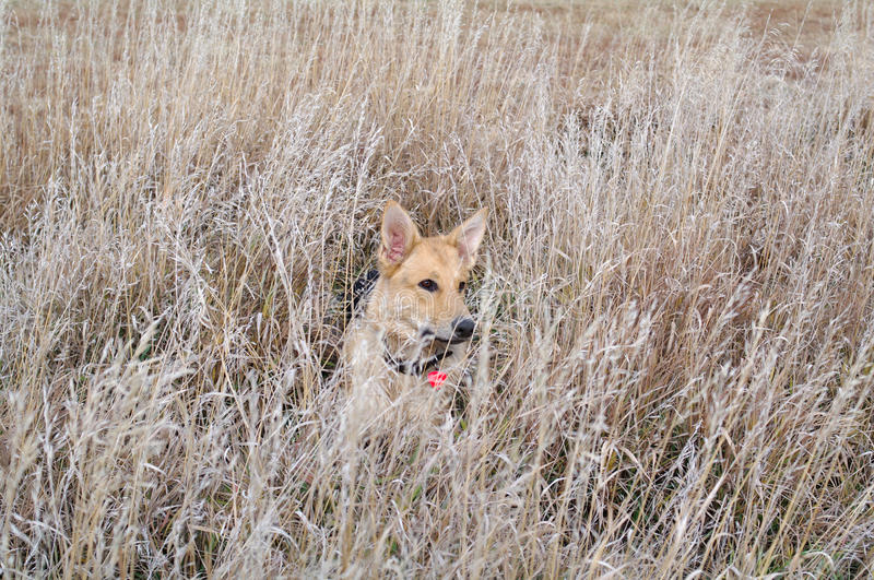 Download Dog in a field stock photo. Image of grass, puppy, canine - 17428948