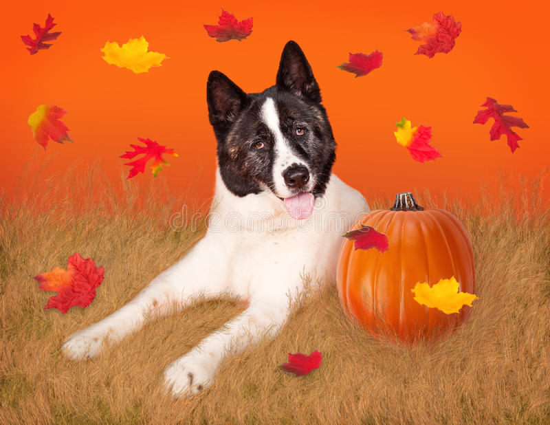 Dog In Field with Pumpkin and Fall Leaves. Happy Akita breed dog laying in a field of wheat next to a pumpkin with autumn colorful leaves falling from the sky royalty free stock photo