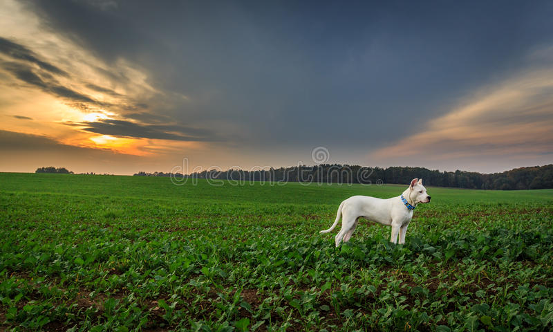Download Dog on the field at sunset stock image. Image of sunset - 42172897