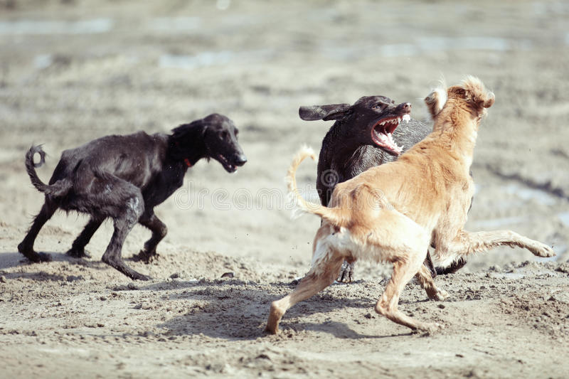 Dog fight. Three dog playing and fighting outdoors. Natural colors and light royalty free stock photo