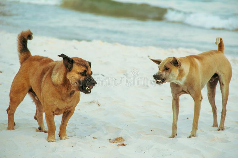 Dog fighting in the beach royalty free stock photo