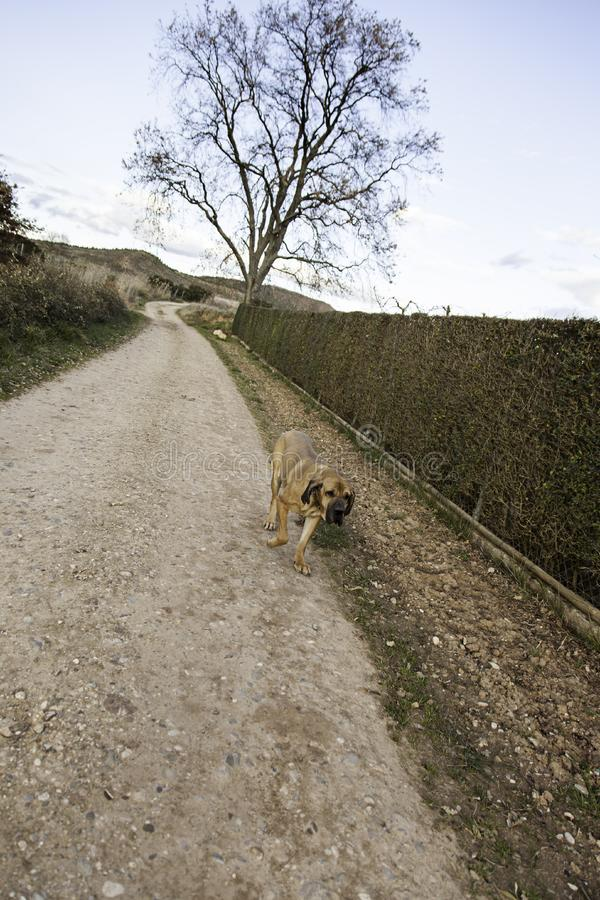 Dog fila brasileiro. Dog guardian of company stock photography