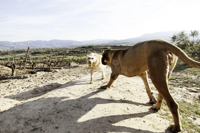 Dog fila brasileiro. Dog guardian of company royalty free stock image