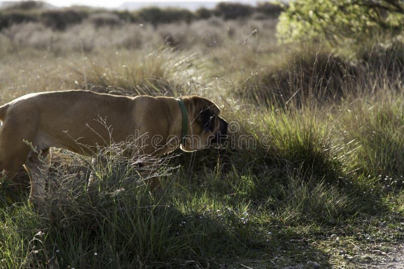 Dog fila brasileiro. Dog guardian of company stock image
