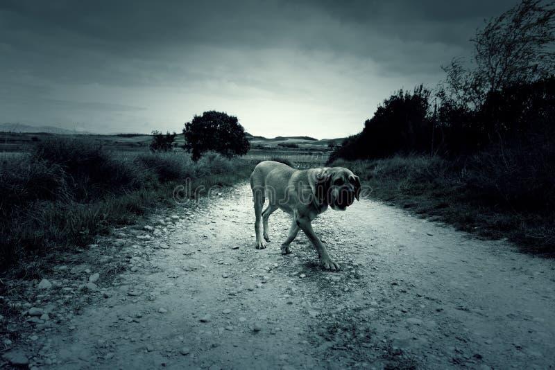 Dog fila brasileiro. Dog guardian of company royalty free stock photo