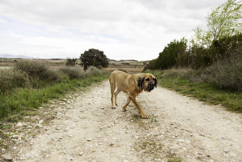 Dog fila brasileiro. Dog guardian of company stock images