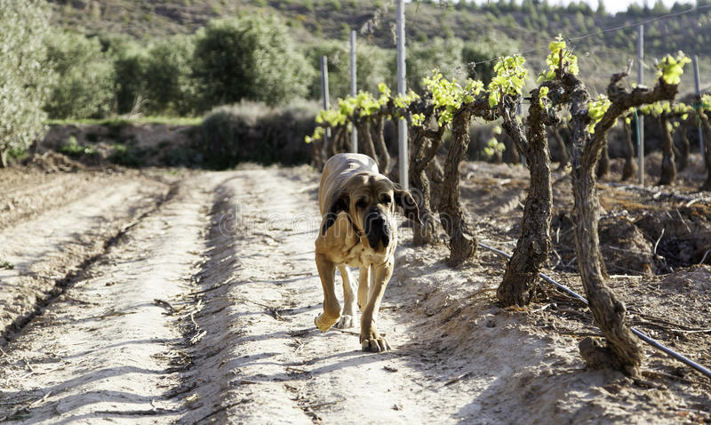 Dog fila brasileiro royalty free stock images