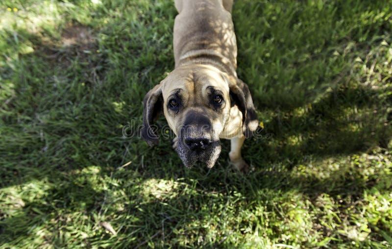 Dog fila brasileiro royalty free stock photography