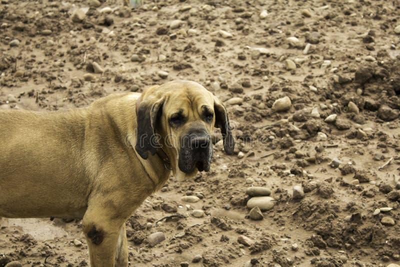 Dog fila brasileiro stock photos
