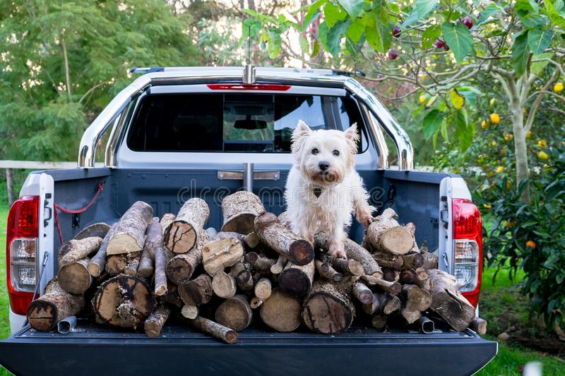 Dog and firewood logs on back of ute delivery truck in Kerikeri, Far North, Northland, New Zealand, NZ. Dog and firewood logs on back of ute delivery truck in stock photography