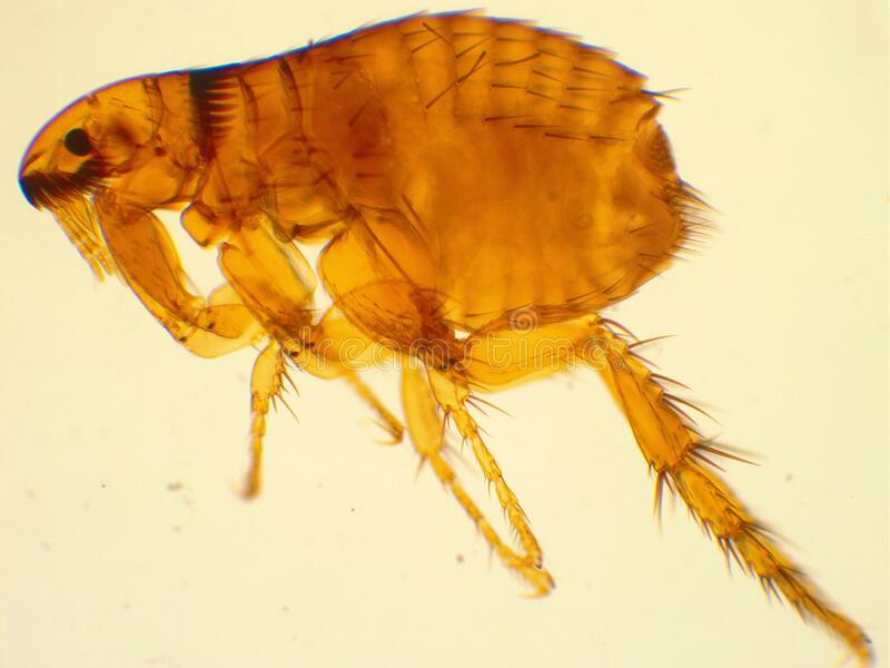 Adult dog flea under microscope 40x magnification. Dog flea under microscope. 40x magnification. Ctenocephalides canis royalty free stock image