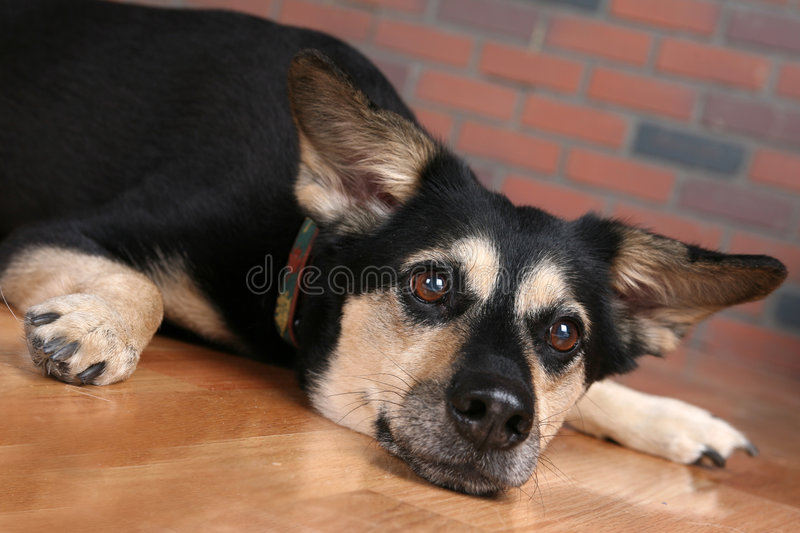 Dog on floor with paws out and looking depressed stock photos