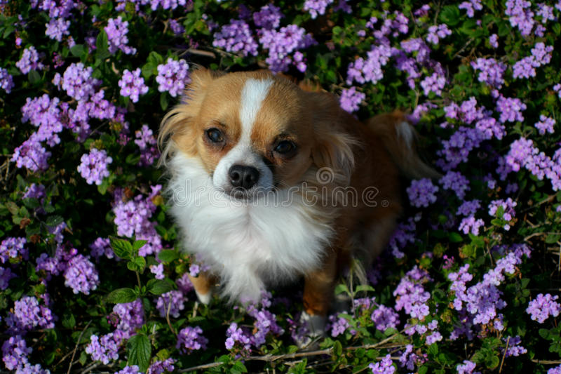 Dog in the flowers royalty free stock photography