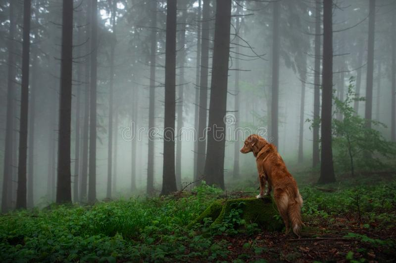 Dog in a foggy forest. Walk with your pet. Nova Scotia Duck Tolling Retriever in nature royalty free stock photo