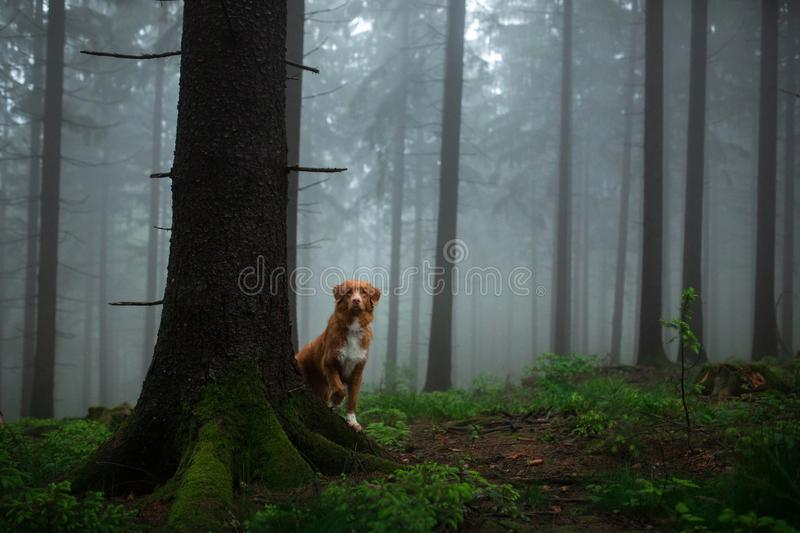 Dog in a foggy forest. Walk with your pet. Nova Scotia Duck Tolling Retriever in nature royalty free stock photos