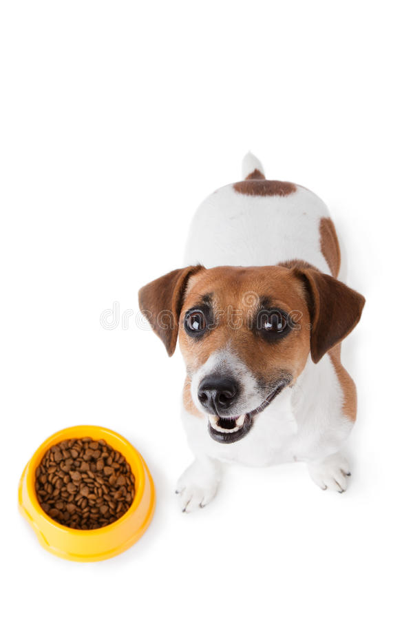 Dog food. Jack Russel terrier with dog bowl on white background royalty free stock image