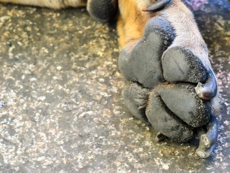 Dog foot royalty free stock images