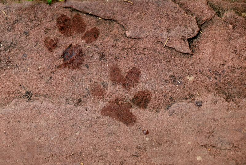 Dog foot print on red plate stone stock photo